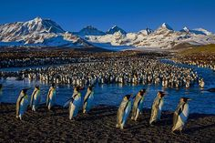 Photograph by @paulnicklen // King penguins by the hundreds of thousands make a go of it on South Georgia, Antarctica. A dramatic land and seascape that almost cost Shackleton his life  over a hundred years ago is home to millions of thriving king penguins, millions of fur seals and thousands of elephant seals.  South Georgia really has the highest biodensity of life on Earth.  To learn more about making this a better planet, please go to my URL on @paulnicklen // #gratitude #nature…