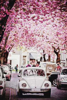 Flowering trees, cobblestone street, and vintage car
