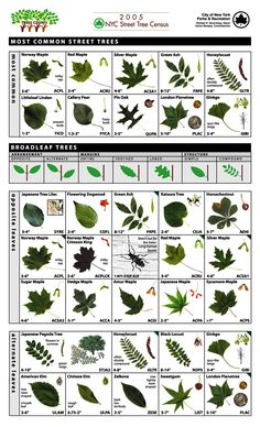 Leaf Key for Tree Identification