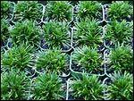 "Ophiopogon japonicus "" Kyoto"" (Super Dwarf) A very low maintenance dwarf mondo grass that clumps to 5 cm in height with short dark green. Kyoto, Dwarf Mondo Grass, Garden Edging, Garden Grass, Wooden Garden Planters, Tiny White Flowers, Landscaping Trees, Woodland Garden, Garten"