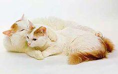 Turkish van: amphibious cat Turkish Van Cats, Cat Life, Cat Breeds, Cats And Kittens, Kitty, Pets, Animals, Swimming, Google Search