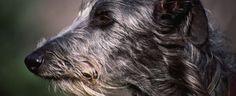 Reasons and Solutions for Barking Behavior in Elderly Dogs : Senile Barking