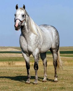 Quarter Horse Stallion - CS Flashlight LOVE this horse! He's got a speed index of like 115! He go Vroom Vroom!!!