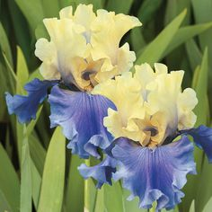 2 Iris Bulb Roots Rhizome Flowers Perennial Bearded Resistant Gardens Planting - Bulbs Plants - Ideas of Bulbs Plants Bonsai Plants, Bonsai Garden, Garden Pots, Potted Plants, Iris Flowers, Flower Pots, Iris Rhizomes, Ground Cover Plants, Outdoor Flowers