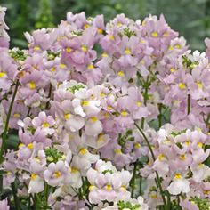 Nemesia hybrid Nemesia Poetry Lavender Pink has masses of fragrant flowers in the softest shades of lavender pink. Perfect for late late winter Rock Garden Design, Cottage Garden Design, Nemesia Flowers, Long Blooming Perennials, Flower Bed Designs, Garden Express, Flower Dance, Raised Flower Beds, Pink Garden