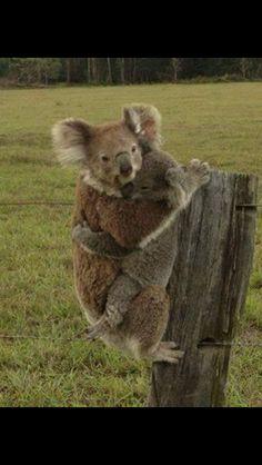 Koala and baby who survived bush fires near Port Macquarie NSW Australia - Oct 2013
