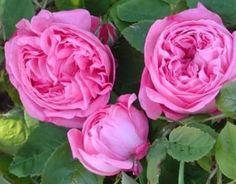 Jeanne de Montfort (Palatine Roses)