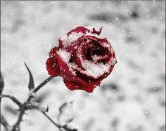 rose, snow, and winter image Cheryl Blossom Aesthetic, Frozen Rose, Winter Rose, Glitter Roses, White Aesthetic, Belle Aesthetic, Aesthetic Roses, Gothic Aesthetic, Winter Garden