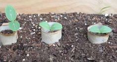 Des rouleaux de papier toilette pour protéger les graines.  14 astuces jardinage hyper utiles