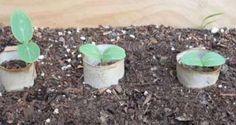 Rouleaux de papier toilette pour protéger les graines