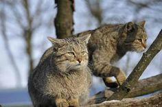 Felis silvestris - wild cats in a tree