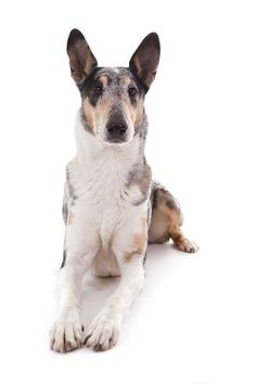 Photograph smooth collie  1 by mario forcherio on 500px