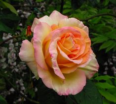 Climbing Peace rose, I have one of these growing on the front of my house. I love it! Just gorgeous!