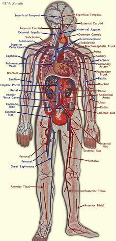 Blood vessel model                                                                                                                                                                                 More