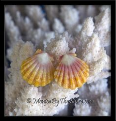 Classic Sunrise Shell Sterling Silver Post Earrings Super sweet baby yellow, pink and white Hawaiian Sunrise Shells sterling silver post earrings! Each shell is so pristine & beautiful in color and perfectly shaped! At only 1/2 inch of Sunrise perfection, they make for a beautiful compliment to your Sunrise Shell necklace! Wear these to work, on the beach, in the ocean surf or out on the town, & prepare for lots of compliments with this rare seashell jewelry from the heart of Hawaii!