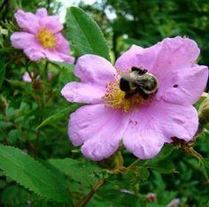 Swamp rose (Rosa palustris)