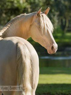 Mantelli del cavallo - Horse coat colors: CREMELLO (omozigote cream+sauro/ omozygous cream+chestnut)