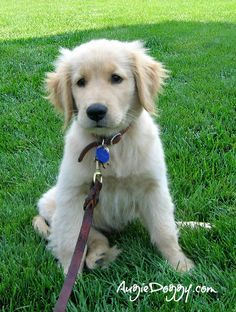 Golden retriever puppy Augie, 3 months old.