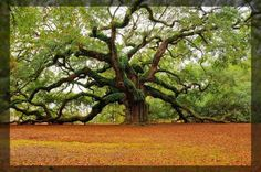 widest tree in the world - Google Search
