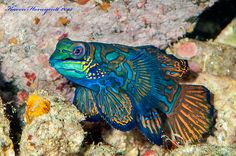 Synchiropus splendidus (Mandarinfish) - Banda Sea, Indonesia Poisson Mandarin, Colorful Fish, Underwater Photography, Sea Creatures, Under The Sea, Pets, Board, Pisces, Fish