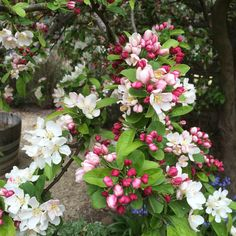 Crabapple in Spring