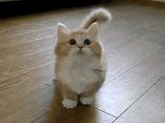 Hay una raza de Gatos que la mayoria de las personas desconocian 03