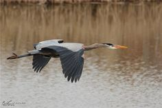 Great Blue Heron - Worth1000 Contests - 5th place (out of 43) - Intermediate: Flight 2013