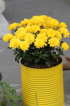 I painted this can yellow, used a nail to punch holes in the bottom for drainage and planted my Chrysanthemum in it.  Very cheery and cheap.