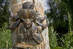 Coconut crabs, also known as robber crabs or palm thieves, feast on rats, coconuts and other crabs. They can live to 60 years old, and live in dens on land in - AUSTRALIA.