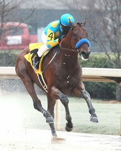 American Pharoah could be our next Triple Crown Winner :) <-- His build vaguely reminds me of the amazing Swaps. Here's hoping! May Man O' War be with him! Most Beautiful Animals, Beautiful Horses, Beautiful Creatures, Kentucky Horse Park, Kentucky Derby, Preakness Winner, Triple Crown Winners, American Pharoah, Western Horse Tack