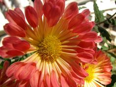 For autumn color, chrysanthemums are showstoppers.