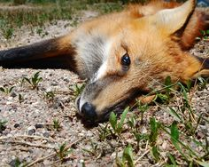 Fox 2, from the series Down to Sleep