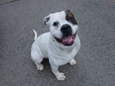 SAFE! 6/10/14 Brooklyn Center -P My name is MAJOR. My Animal ID # is A1001961. I am a male white and br brindle amer bulldog mix. The shelter thinks I am about 2 YEARS I came in the shelter as a OWNER SUR on 06/03/2014 from NY 11379, owner surrender reason stated was ALLERGIES.