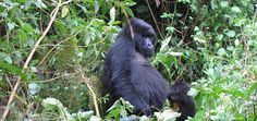 Mountain gorilla trekking, Bwindi Impenetrable Forest, Uganda