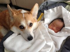 Here's Wilbur and his new sister when she got home from the hospital. He's already looking out for her. | This Corgi And His Newborn Baby Sister Are The Cutest New Friends