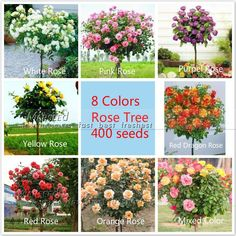 """400 eight-color Chinese rose tree Seeds Seeds 50 seeds / color, fragrant pleasant smell fragrant, ideal DIY Home bonsai flower - from 20 Skyscraper """"12 feet tall"""" Sunflower Seeds, Easy to grow, snack or Extract oilUSD 0.99/lot30 Calceolaria-Slipper, bonsai from Aliexpress.com 