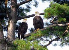 Eagles- Alpena Michigan