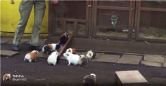 The Guinea Pigs of Ueno Zoo in Tokyo Rush Home When They Hear the Dinner Bell Ringing