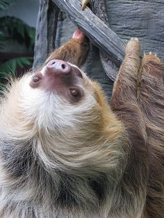 Hoffmann's Two-toed Sloth. I just love them! And their three toes cousins.