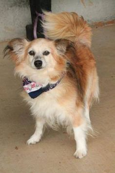 ADOPTED>NAME: Leo  ANIMAL ID: 31993271  BREED: Longhair Chi  SEX: male  EST. AGE: 7 yr  Est Weight: 14 lbs  Health: Heartworm pos  Temperament: dog friendly, people friendly  ADDITIONAL INFO: RESCUE PULL FEE: $35  Intake date: 6/24  Available: 6/30