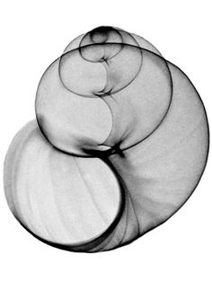 Sea shell x-ray, so beautiful! Art Furniture, Natural Forms, Grafik Design, Sea Creatures, Sacred Geometry, Sea Shells, Art Photography, Black And White, Drawings