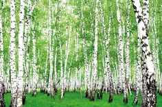 Amazon.com: Birch Forest - XXL Mural The Birch Forest - Poster 82.7 Inch x 55 Inch: Furniture & Decor