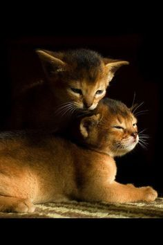 Photos and biography of Encore: Butterfly and Perpetual Motion [redux] the kitten(s) of the day on June Kittens Cutest, Cats And Kittens, Cute Cats, Cute Baby Animals, Animals And Pets, Abyssinian Kittens, 5 April, Image Chat, Gif Animé
