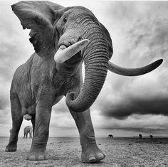 Abousetly stunning! Искусство На Тему Слона, Африканский Слон, Фотоохота, Фотографии Животных, Милые Животные, Татуировка Животное, Медведи, Tatoo, Африка
