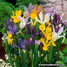 """**IRIDACEAE: Dutch Iris; Iris hollandica; """"Dutch Mix""""; Perennial; 20-24"""" Tall; Full sun or Part Shade; Blooms late spring- early summer; White, Yellow, Purple; Average Moisture; Well Drained Soil; Special value to bumble bees, honey bees, & other bees; Cut Flower 