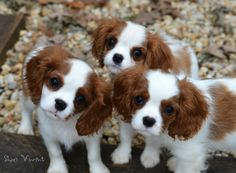 Cute Alert!! by Shari Vincent on 500px King Charles Spaniel pups!