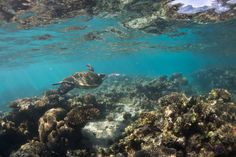Swim with Mantarays in Coral Bay | Turtle