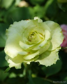 ~Rose 'Green Planet', Srezochnyh(Florists rose), Holland 2002