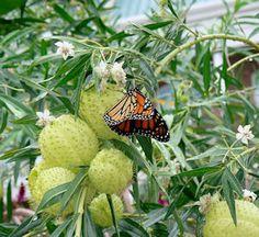 Balloon plants (Asclepias physocarpa or Gomphocarpus physocarpus) milkweed (got this in our CSA)