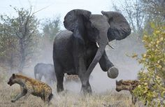 Elephant protecting the young and the rest of her family.